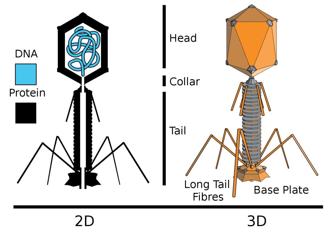 By Adenosine (original); en:User:Pbroks13 (redraw) - http://commons.wikimedia.org/wiki/Image:Tevenphage.png, CC BY-SA 2.5, https://commons.wikimedia.org/w/index.php?curid=4128278